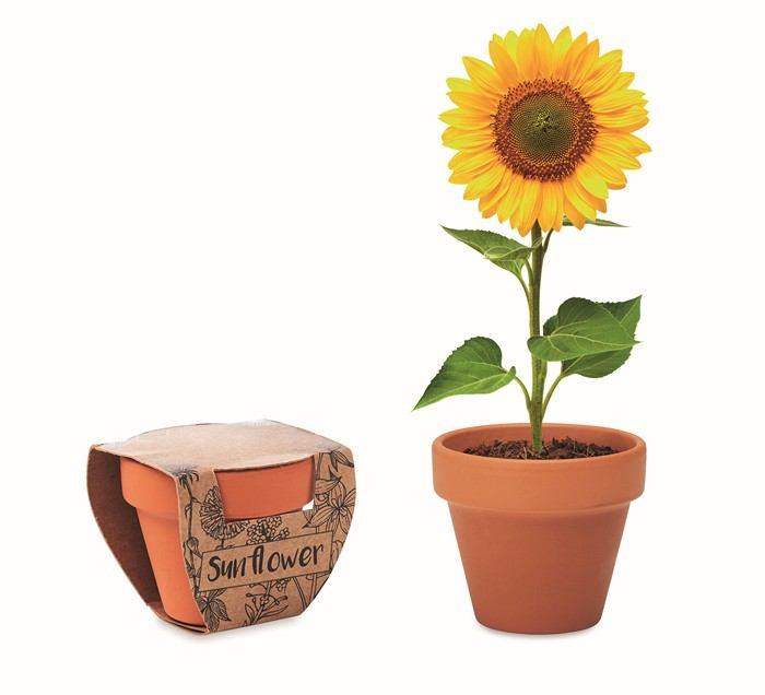 Terakotový květináč slunečnice